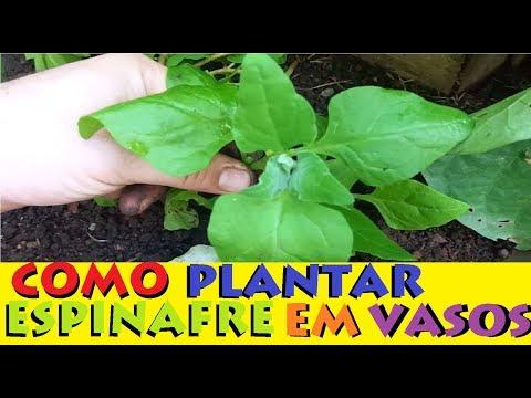 como plantar espinafre em vasos