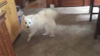 American Eskimo Dog Demands Breakfast
