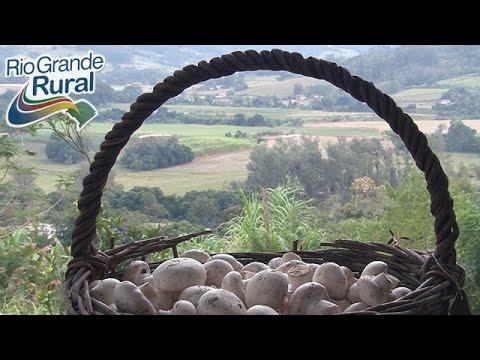 O cultivo de cogumelos