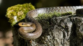 COVID-19 Lockdown Positives On Environment|Wildlife And Nature Thrives Amidst Pandemic|Rat Snake