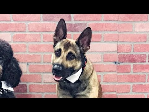 Dog flunks out of Service Dog Training School