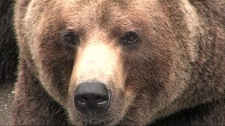 preview picture of video 'Living With Wildlife: The Bears are Back'