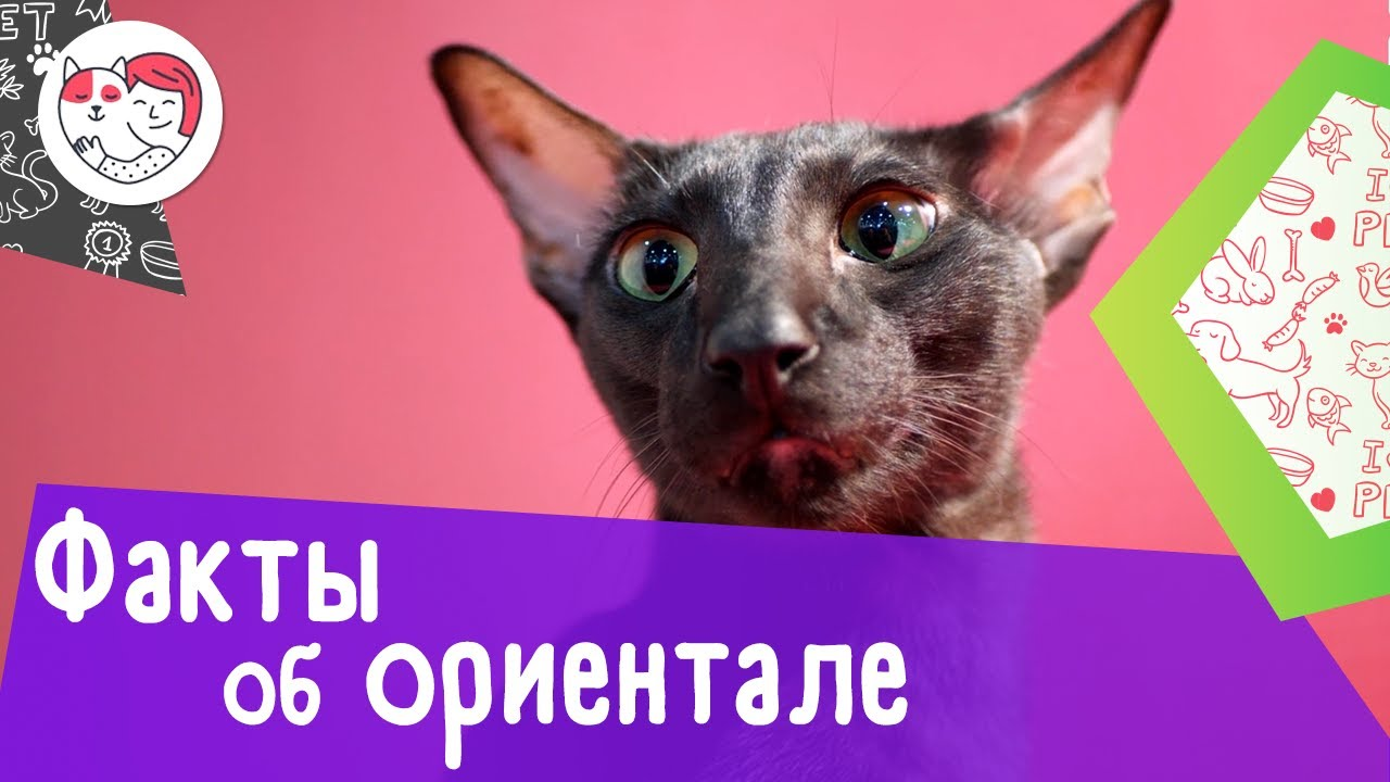 5 интересных фактов об ориентальных кошках