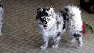 pomsky puppies for sale - Thủ thuật máy tính - Chia sẽ kinh