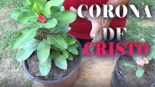 Como Reproducir La Planta La Corona De Cristo  Por Esqueje Y Su Cuidado