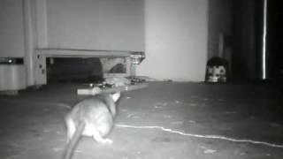Rat in the Garage
