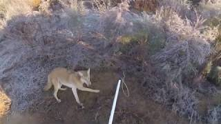 Coyote Trapping How I Handle Live Coyotes!!!