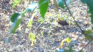 Burung Gosong Kaki Merah