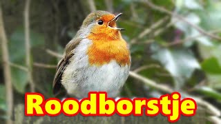 Robin Birds Singing and Being Awesome : Robin is Roodborstje in Dutch