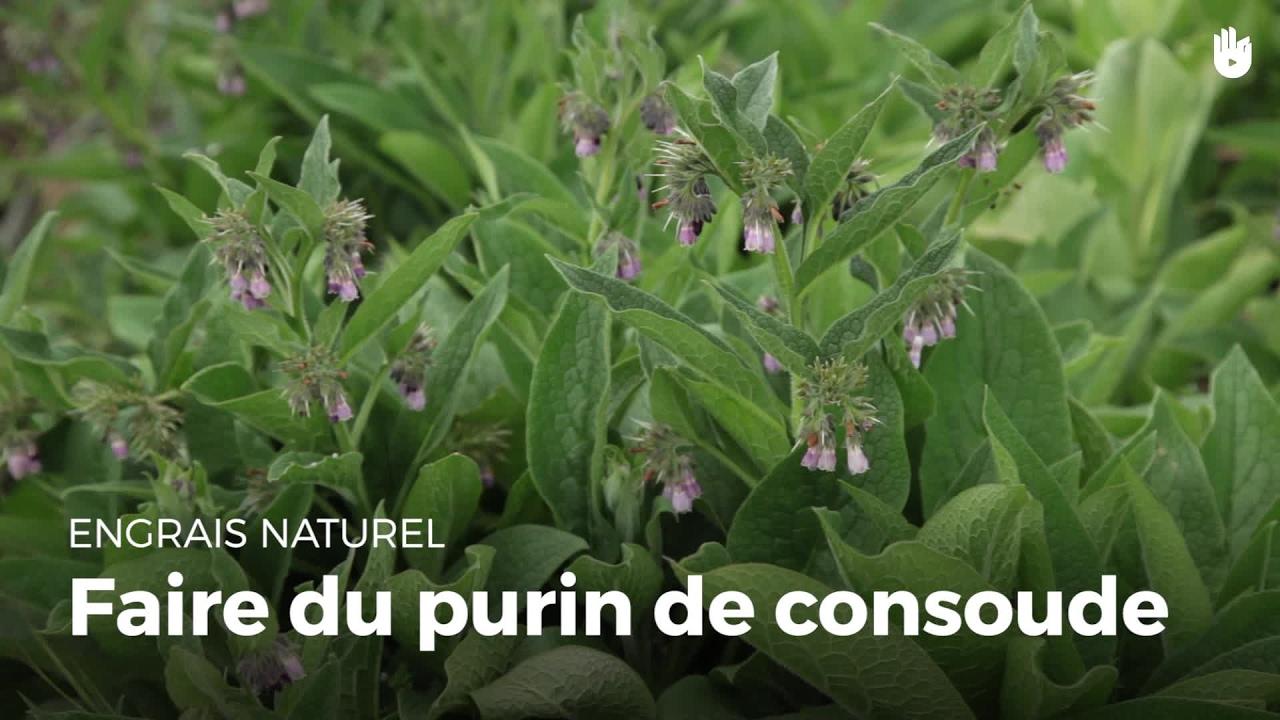 Faire du purin de consoude cultiver son jardin sikana - Comment faire du purin d ortie ...