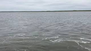 Tarpon Fishing Guide and Charters South Carolina: Tarpon fishing report for Myrtle Beach, Murrells I