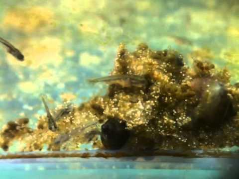 頂天眼の稚魚 成長記録