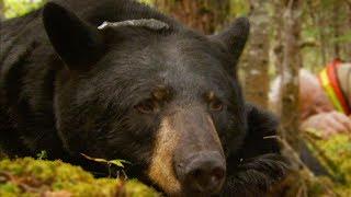 Black Bear Tragically Killed By Hunter | BBC Earth