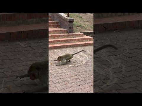 Μαϊμού... καλλιτέχνης δρόμου