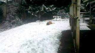 Leonberger & Bernese Mountain Dog Snow Play
