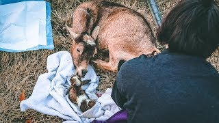 I can't feel the Baby Goat's legs (miniature goat birth)