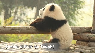 Panda: Life Is So Tough! | iPanda