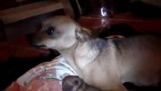 preview picture of video 'Lariano come nasce un pincher.mp4'