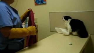 Psycho Cat Beats Up On Vet