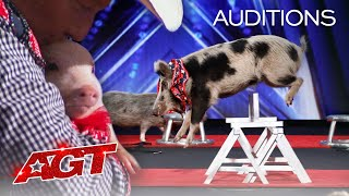 PIGS Got Talent?! Pork Chop Revue Brings Funny and Talented Pigs To AGT! - America's Got Talent 2020 thumbnail