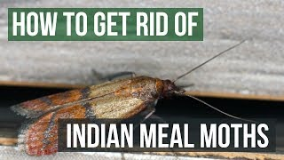 How to Get Rid of Indian Meal Moths (4 Easy Steps)