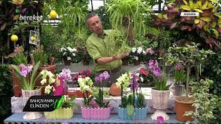 Bahçıvanın Elinden - Kurdele Çiçeğinde Bakım İşlemleri ve Yaprak Temizliği