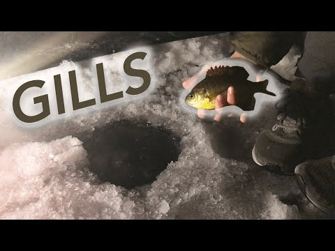 Giant Bluegill through the Ice