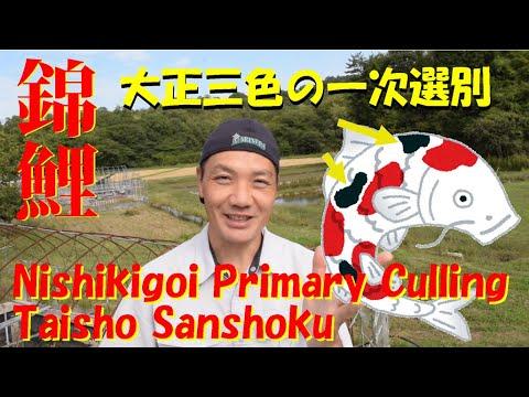 錦鯉 大正三色の一次選別 Nishikigoi The primary culling of Taisho sanshoku