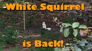 White Squirrel is Back!