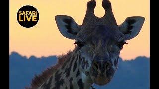 safariLIVE - Sunset Safari - March 17, 2019