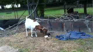 Boer goat giving birth to twins