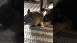 Bunny Loves to Sit on Dog's Face #shorts