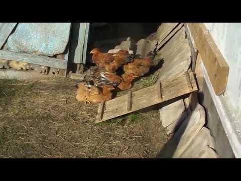 Обычный вечер у цыплят.