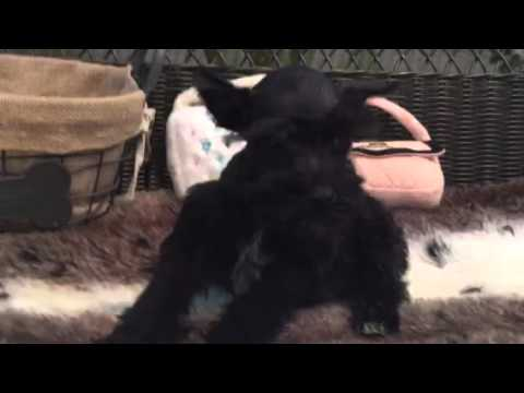 Female mini schnauzer looking for her forever home