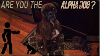How To Test If Your Dog Knows You're Boss   Are You The Alpha?
