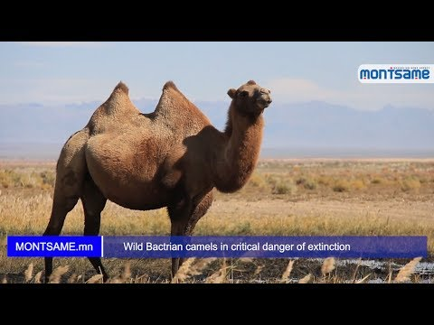 Wild Bactrian camels in critical danger of extinction