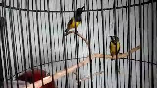 Kicau burung sogon