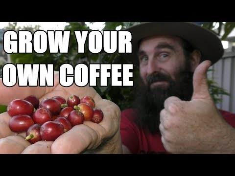 Growing Coffee In Containers & Our First Harvest