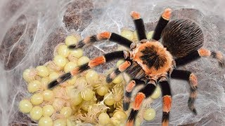 Mother Tarantula Spider Laying To 50- 2000 Eggs