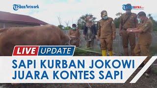 Berbobot 889 Kg, Sapi Kurban Jenis Limousin Presiden Jokowi untuk Riau Juara Kontes Sapi