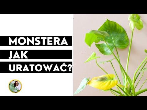 , title : 'Dlaczego liście monstery żółkną, pojawiają się brązowe plamy?Jak uratować przelaną monsterę?'