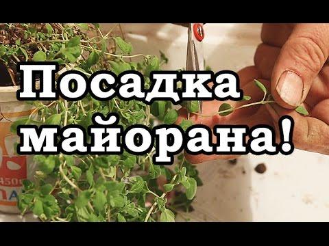 МАЙОРАН - как вырастить, посадить, ухаживать и размножать за рассадой майорана