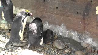 Macaroni Penguins And Chick, Living Coasts (7th July 2013)