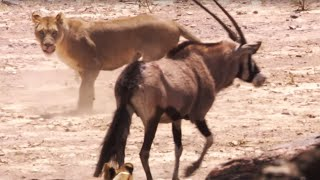 Lions attack Oryx | Desert Lions | BBC Earth