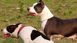 American Staffordshire Terrier || AM STAFFS || Royal Staff Kennel  || Dog Kennel || Scoobers