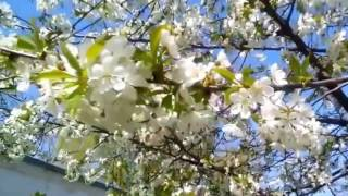Капиталина Лазаренко - Вишнёвый сад