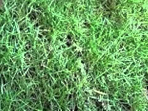 Video RUMPUT JEPANG -TUKANG TAMAN