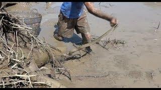 จกจับปลาใต้ขอนไม้เจอปลาตัวใหญ่หลายตัวที่หลายคนคาดไม่ถึง งูก็เยอะ-Catching big fish in mud