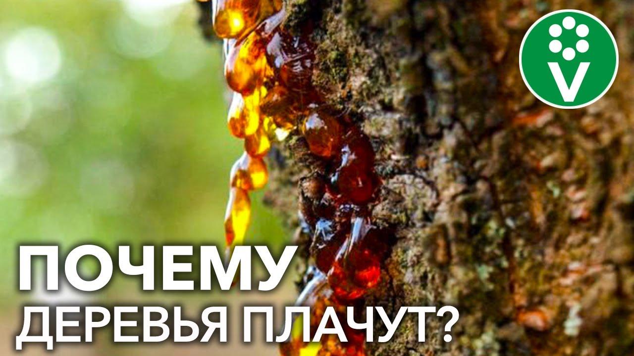 КАМЕДЕТЕЧЕНИЕ КОСТОЧКОВЫХ. Как вылечить деревья?