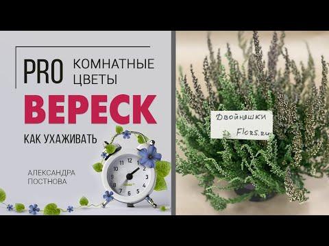 Вереск - растение для дома или исключительно для сада? Сложный или простой в уходе цветок?
